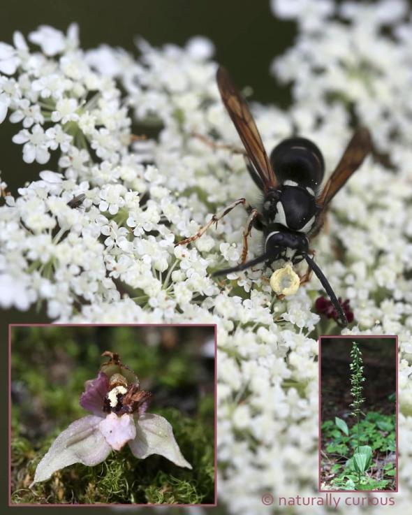 8-10-16  helleborine pollinia 021