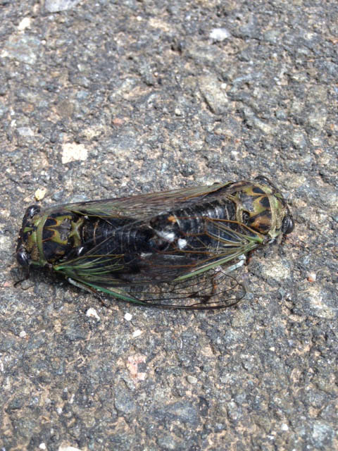 8-24-16 mating cicadas by wallie hammer IMG_2199
