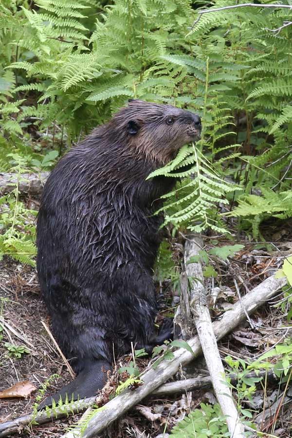 8-31-16 beaver cutting fern 052