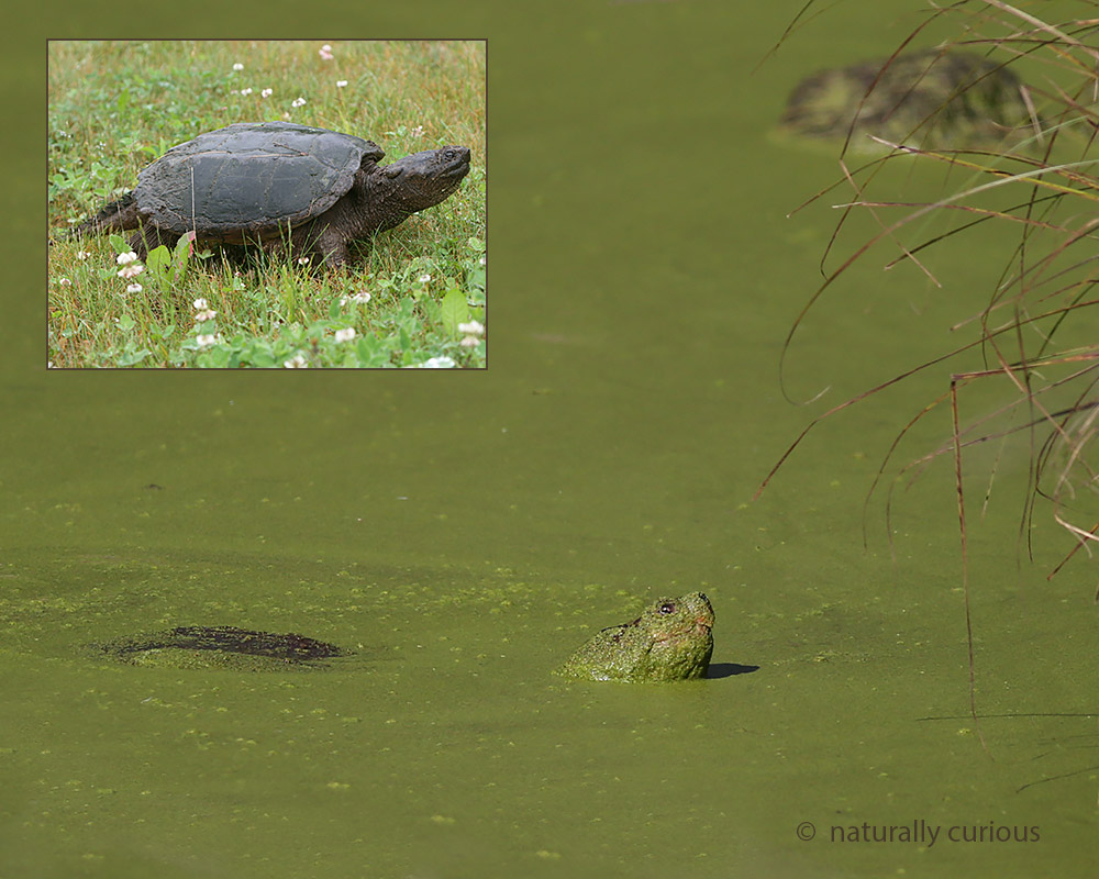 9-14-16-snapping-turtle-20160912_8749