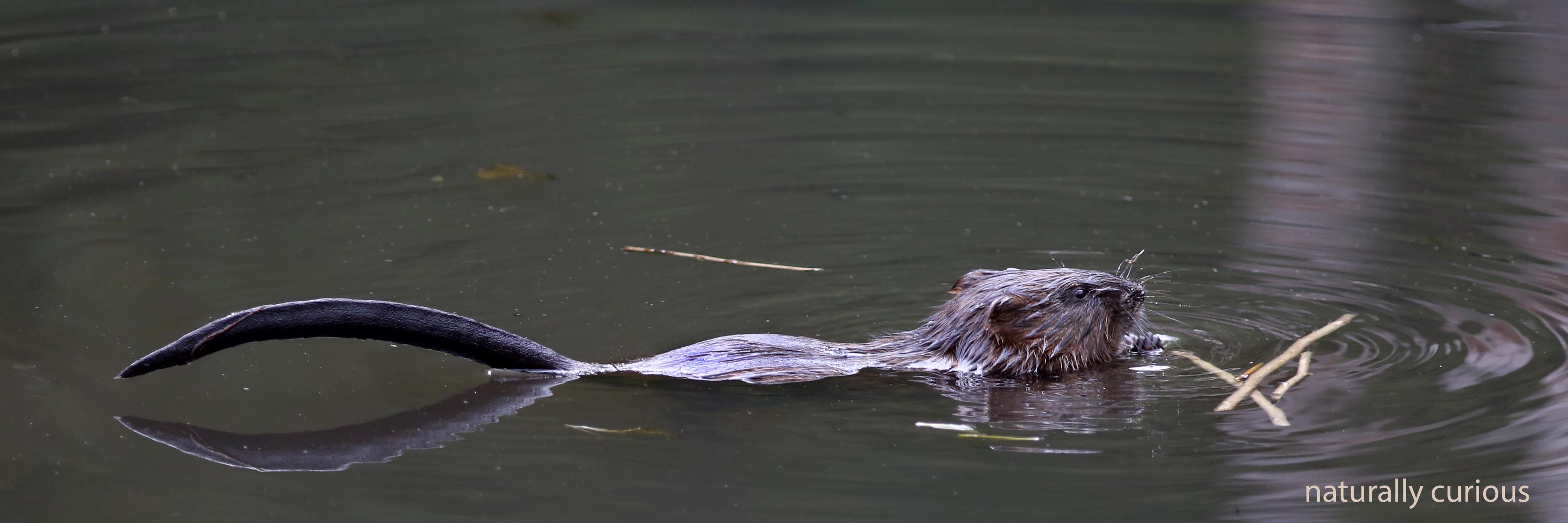 9-20-16-beaver-kit-20160919_0902