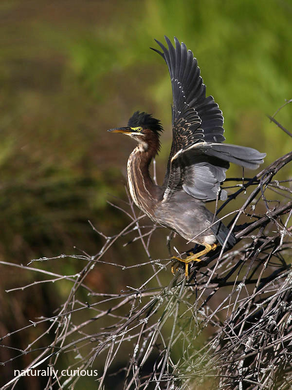 9-21-16-green-heron-taking-off-20160916_0785