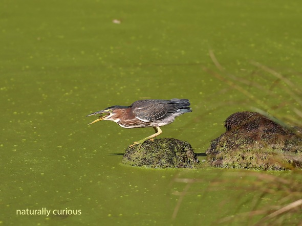 9-22-16-green-heron-fish-20160921_1988