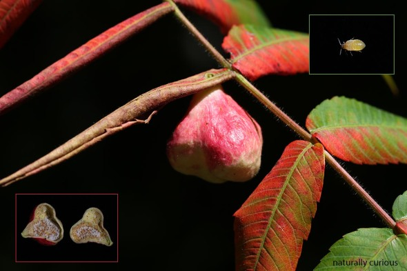 9-22-16-red-pouch-gall-20160916_0115