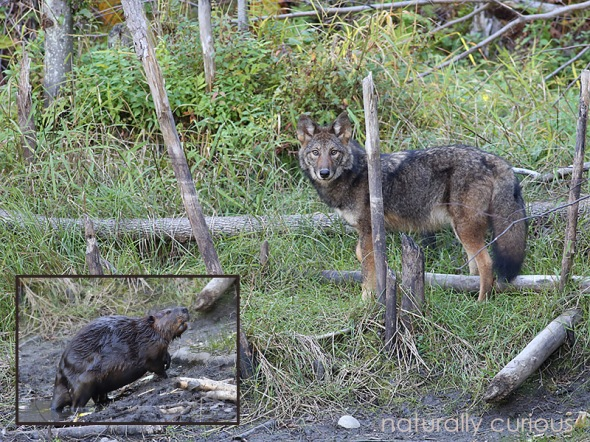 9-28-16-coyote-and-beaver-20160927_3275