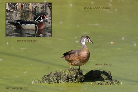 9-9-16-revised-wood-duck-eclipse-20160904_3910