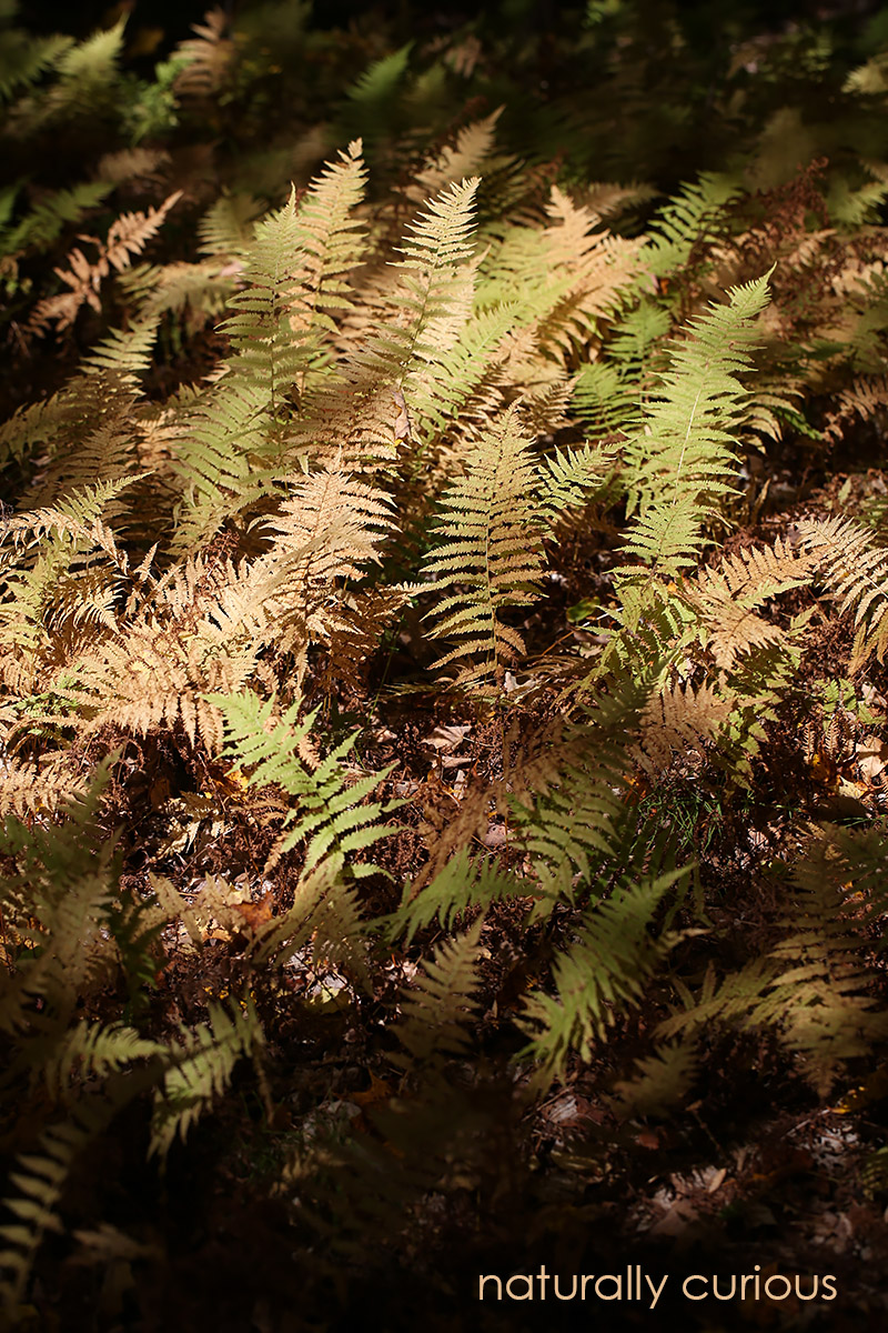10-11-16-hay-scented-fern-20161005_4101