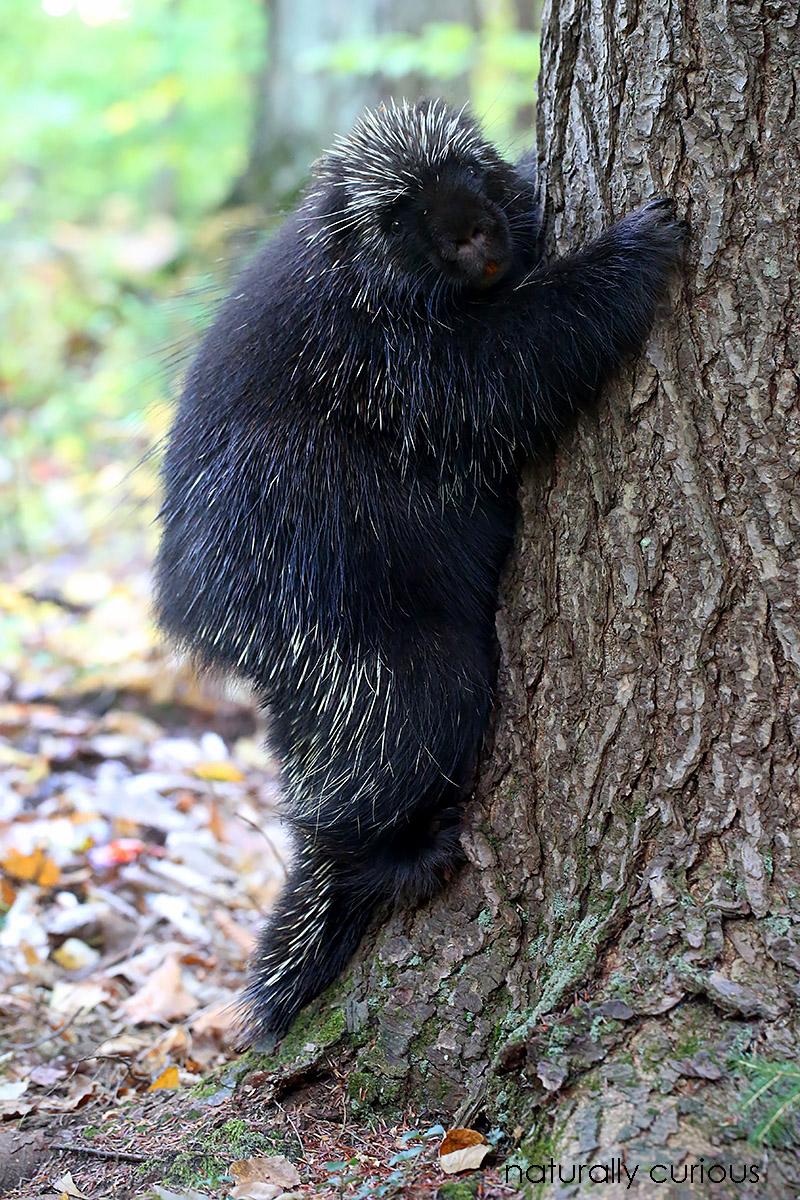 10-12-16-porcupine-20161011_4950