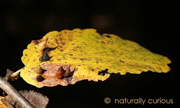 10-26-16-witch-hazel-gall-s20161017_5388