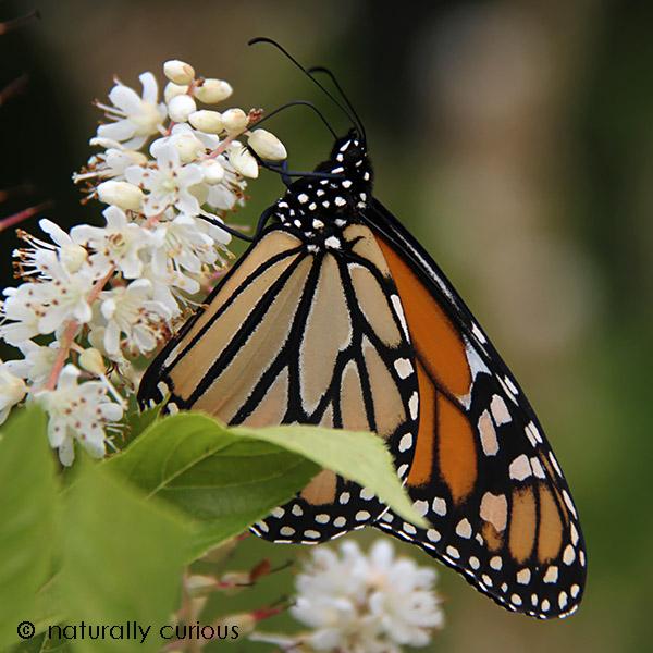 10-31-16-monarch2-img_5186