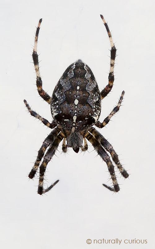 10-7-16-barn-spider-20161003_3651
