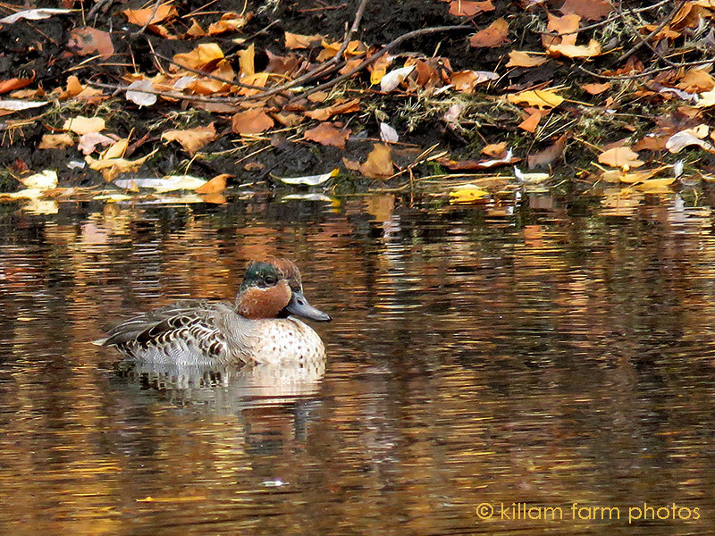11-2-16-male-green-winged-teal-by-jeannie-male-molting