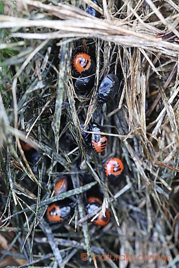 11-3-16-white-margined-burrower-bugs-017