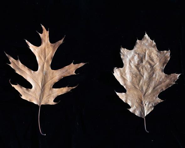 11-15-16-oak-leaves-049a1752