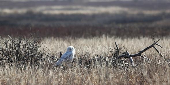11-30-16-snowy-owl-034