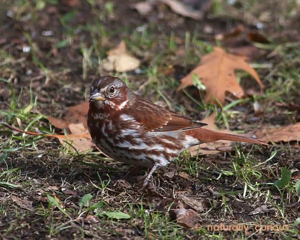 11-7-16-fox-sparrow-049a1364