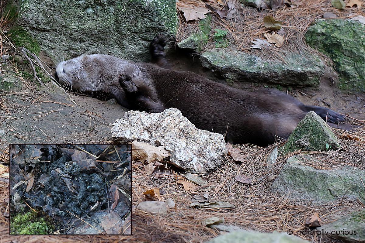 12-2-16-river-otter-roll-1093
