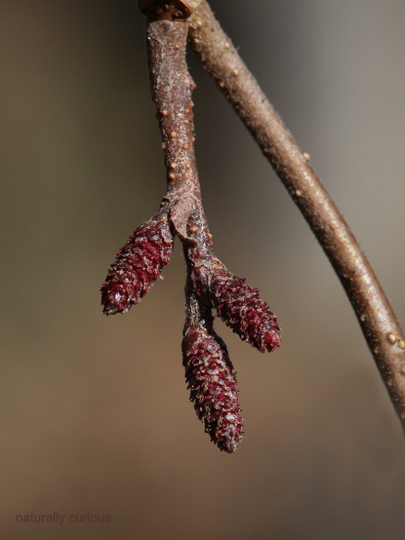 12-16-16-female-alder-flowers-053