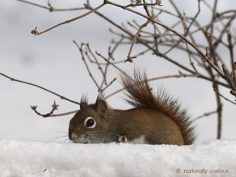 1-11-17-red-squirrel-eating-snow-049a2569