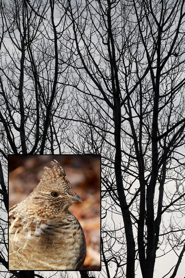 1-12-17-ruffed-grouse-aspens-049a2566