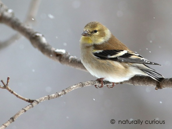 1-19-17-a-goldfinch-045