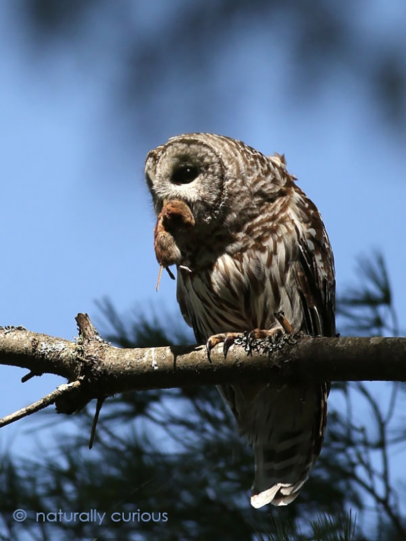 1-20-17-barred-owl-and-red-backed-vole-l-040