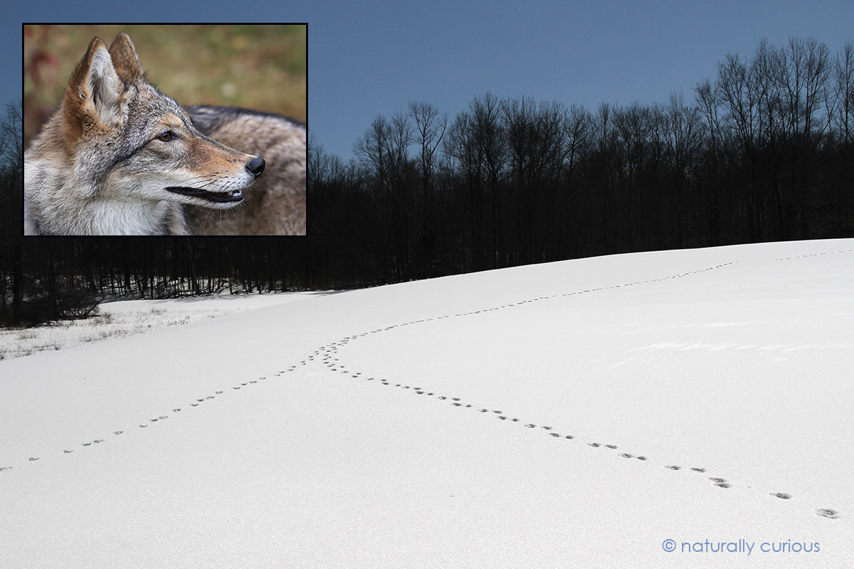 1-23-17-two-coyote-trails-img_6155