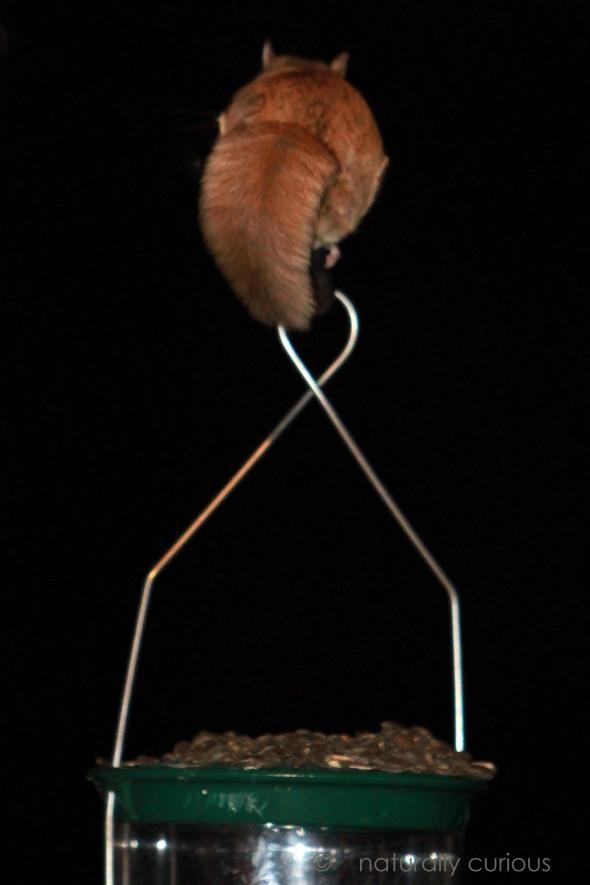 1-30-17-flying-squirrel-img_0397