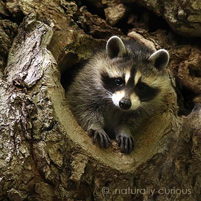 1-31-17-raccoon-664