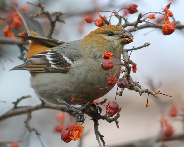 1-4-17-female-pine-grosbeak-img_5087