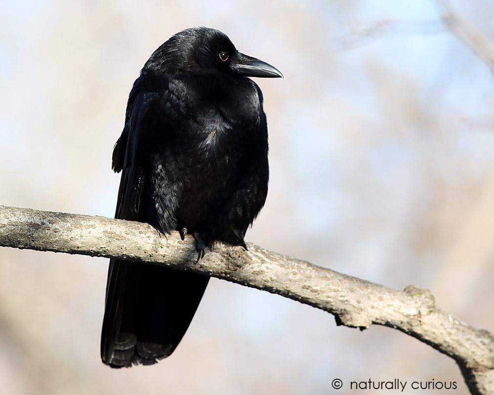 american-crow-sentinel-049a2673