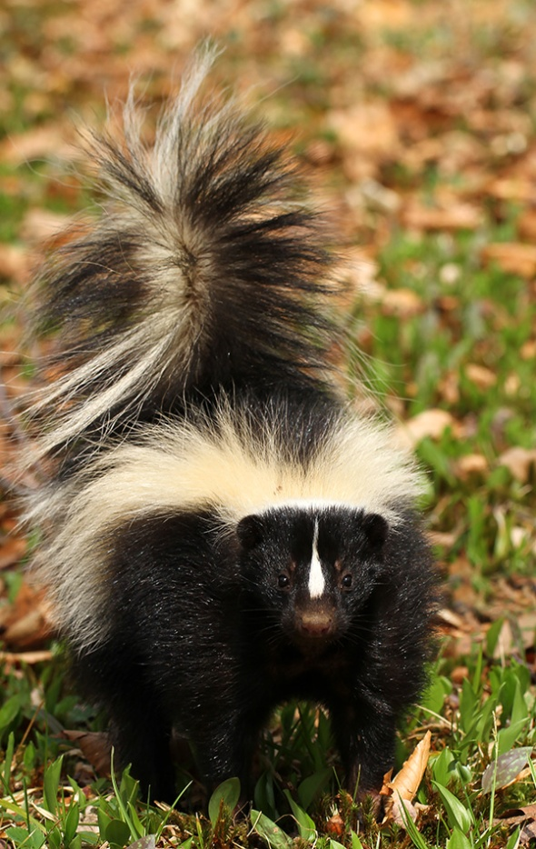 2-15-17-striped-skunk-img_1837