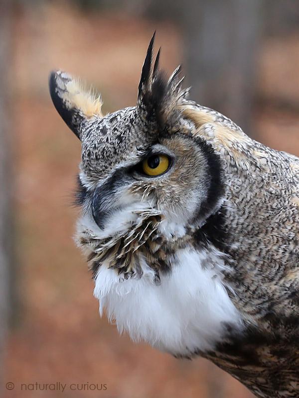 2-16-17-great-horned-owl-289