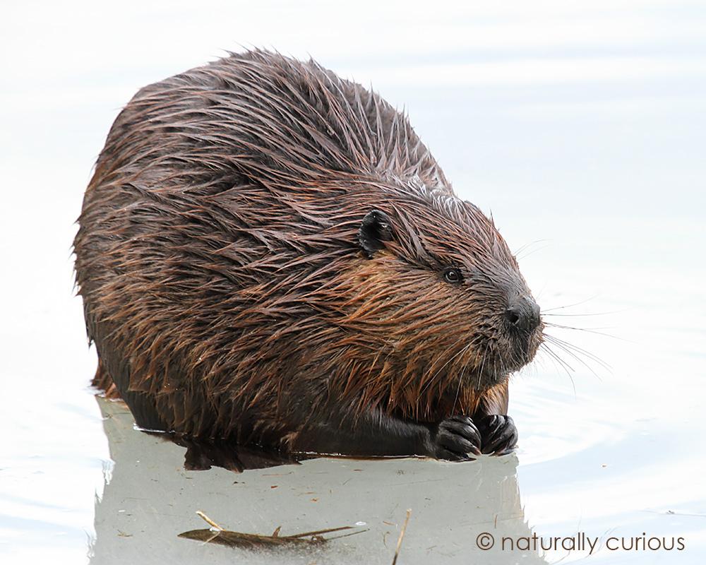 2-17-17-beaver-img_3766
