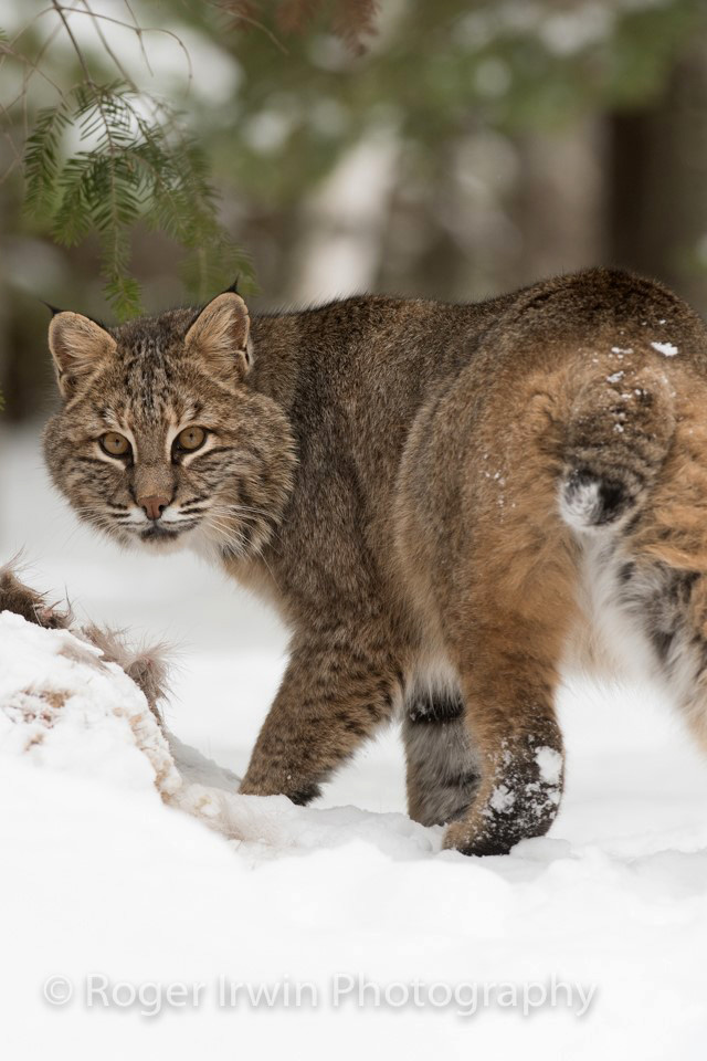 2-23-17-roger-irwins-bobcat