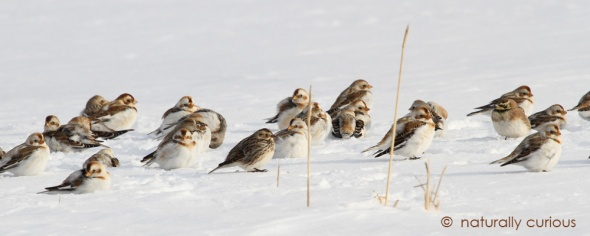 2-24-17-snow-buntings-on-ground-img_6743