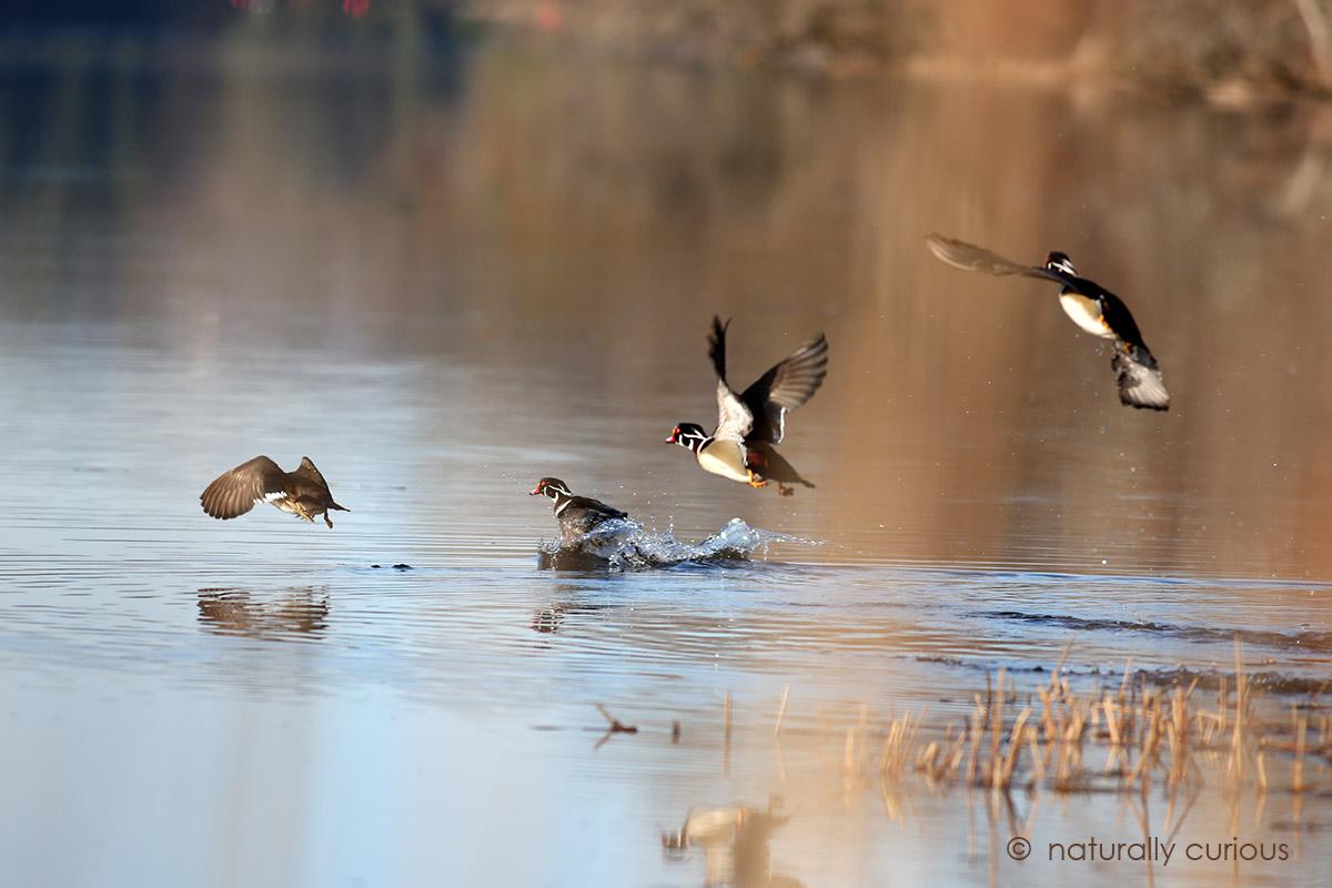 3-1-17-wood-ducks-084
