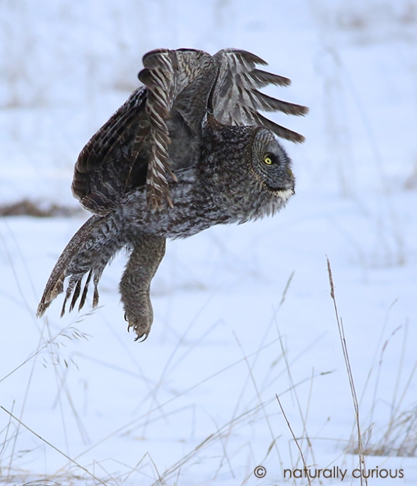 3-14-17 great gray owl2 164