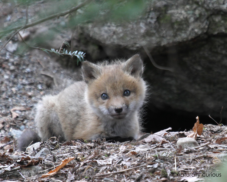 3-22-17 red fox kit IMG_7433