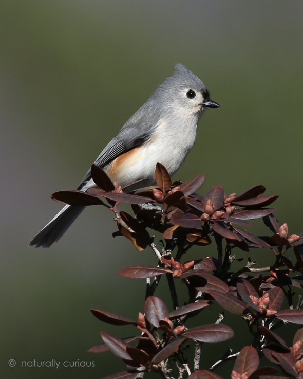 3-24-17 tufted titmouse 085