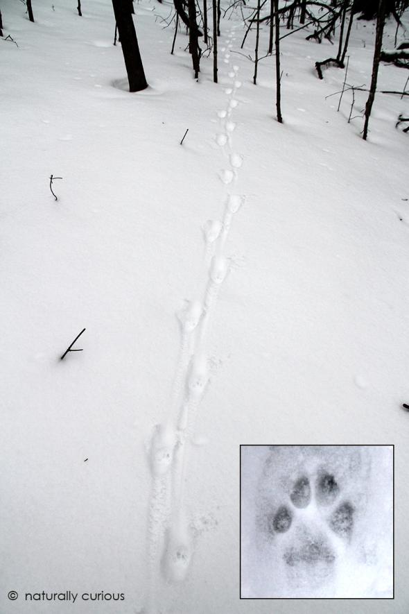 3-27-17 bobcat tracks IMG_1846