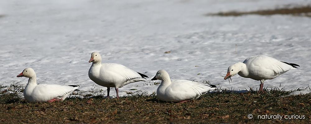 3-28-`7 snow geese090