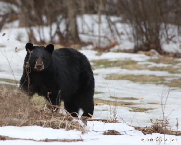 3-3-17-black-bear-002