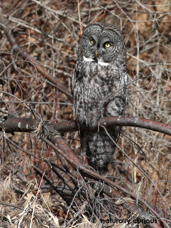3-8-17-great-gray-owl-753