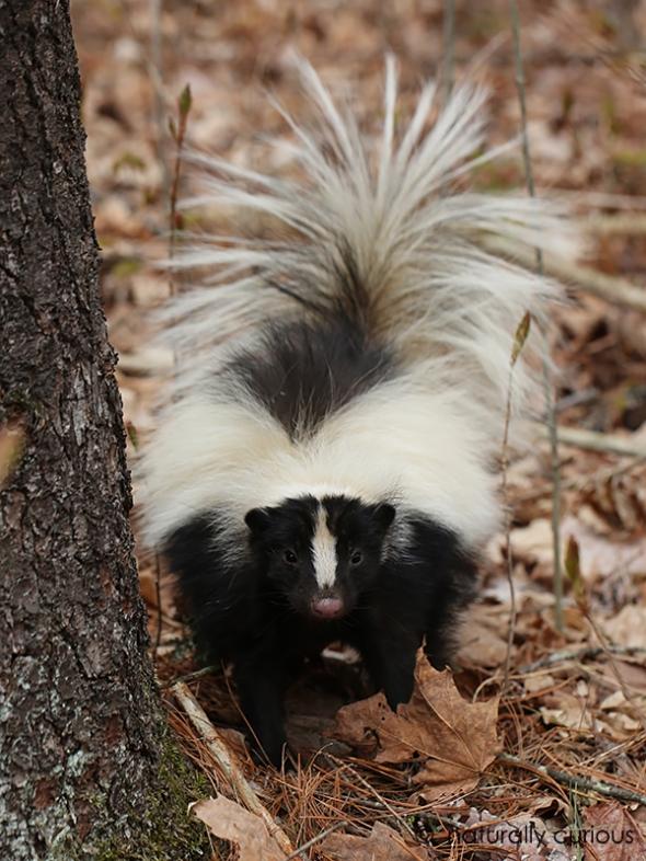 3-9-17 skunk 118