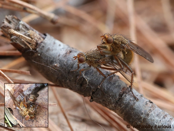 4-13-17 mating flies 042