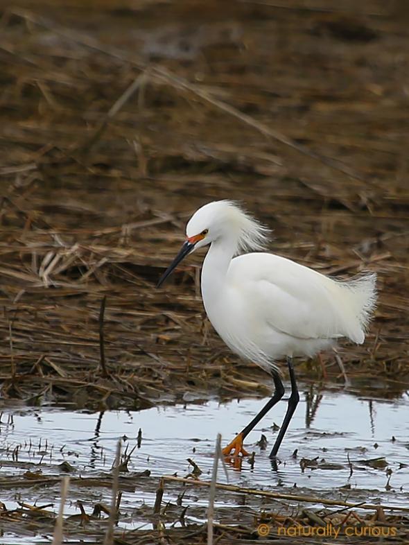4-18-17 snowy egret 053