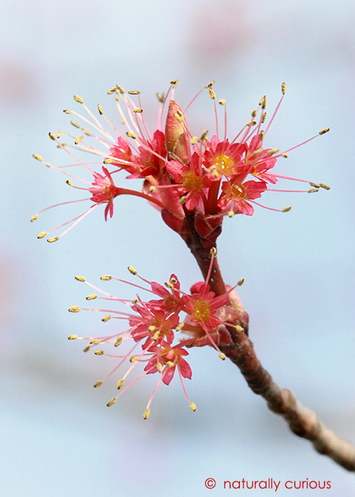 4-20-17 red maple male flowers IMG_2938