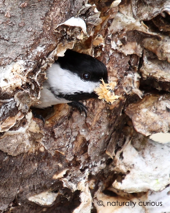 4-21-17 black-capped chickadee nest building IMG_4765