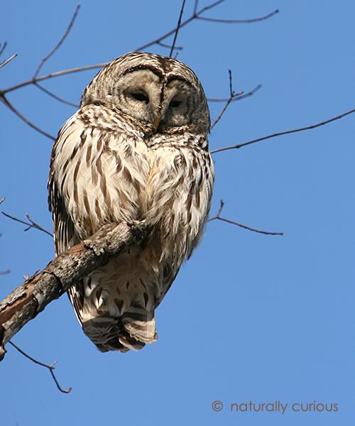 4-24-17 barred owl IMG_8141